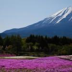 富士芝桜まつり 2017!見頃や割引は?渋滞・開花状況とともにお知らせ