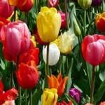 チューリップの花言葉 色別でご紹介!