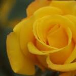 父の日の花!色ごとのバラの花言葉、ほかのおすすめの花って?